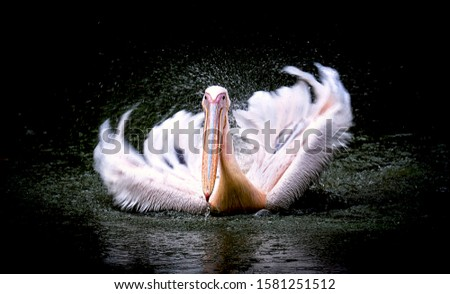 Brown Pelican Pelecanus occidentalis shaking water off feathers with flapping wings, drops of water glittering.