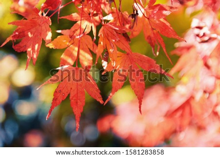 There are red maples in Autumn. #1581283858