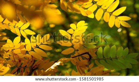 Autumn landscape photography, mountain ash in full beauty, illuminated by the colors of autumn. A tree with fruits in the form of a bunch of orange-red berries, as well as the most berries #1581501985