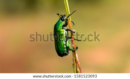 The green June beetle (Cotinis nitida) commonly known as June bug or June beetle #1581523093