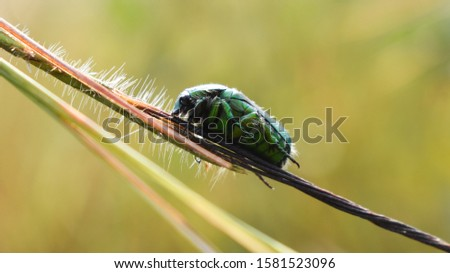 The green June beetle (Cotinis nitida) commonly known as June bug or June beetle #1581523096