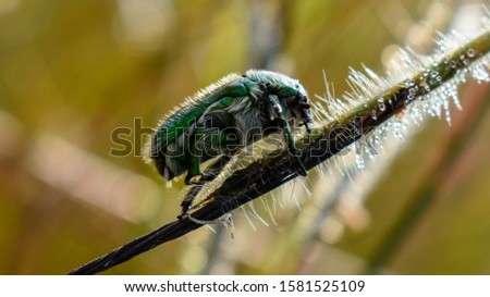 The Green Hairy June beetle (Cotinis nitida) also known as june bug or june beetle. #1581525109