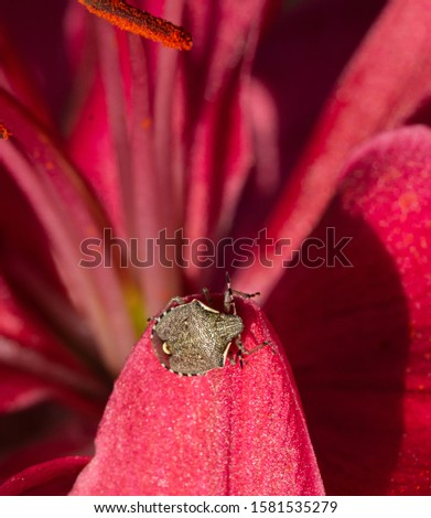 Macro of a brown marmorated stink bug (halyomorpha halys) on amaryllis petals; as natural predators are missing in europe it causes huge damage to agriculture #1581535279