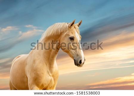 Stunning palomino gelding portrait shot on sunset background #1581538003