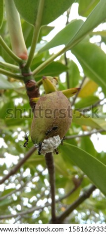 ants nesting in fruits, photos taken in Banda Aceh city park in December 2019, #1581629335