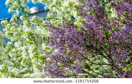 Syringa lilac species of flowering woody plants in the olive family native to woodland and scrub from southeastern Europe to eastern Asia and widely and commonly cultivated in temperate areas elsewher #1581714208