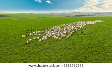 Aerial photo of white nellore cattle herd, green pasture in Brazil. Royalty-Free Stock Photo #1581762535