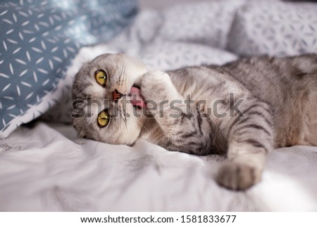 Cute Scottish Fold cat licks his paw in the bed. Selective focus #1581833677