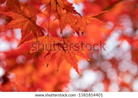 Red maple leaves in autumn #1581854401