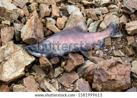 A carcass of a kokanee salmon laying on the rocks in north Idaho  after spawning. #1581999613