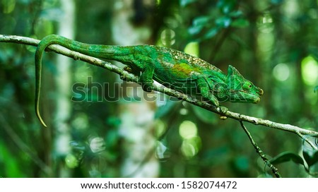 The common chameleon or Mediterranean chameleon (Chamaeleo chamaeleon), together with the African chameleon, C. africanus, is one of only two extant species of Chamaleonidae. #1582074472