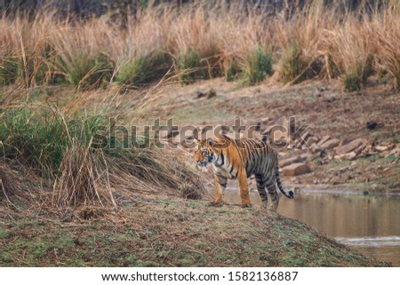 Maya Tigress Alpha Female Apex Predator of Tadoba Tiger Reserve in Maharashtra, India #1582136887