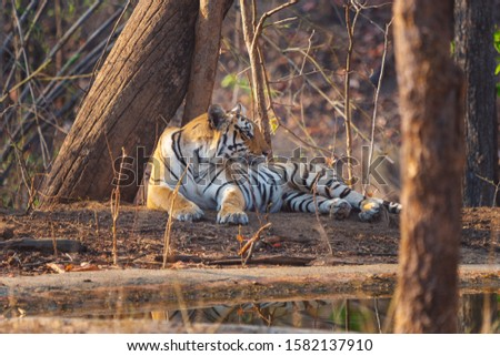 Baras Tigress lying at water pond in Pench Khursapar Tiger Reserve India #1582137910