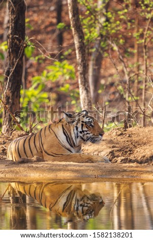 Baras Tigress Lying near pond water pool reflection in Khursapar Pench Tiger Reserve India #1582138201