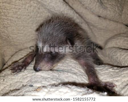 Little baby pet raccoon pictures.