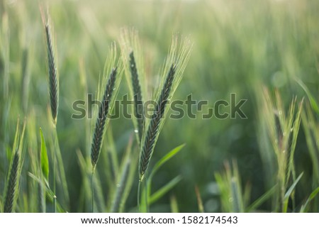 The rye green growing in the field. Rye ear close up. Secale cereale. Poaceae Family.  The rye growing in the field. crops of Rye (Secale cereale) in the green ears phase.  #1582174543