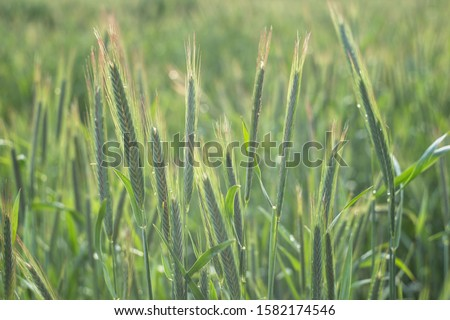 The rye green growing in the field. Rye ear close up. Secale cereale. Poaceae Family.  The rye growing in the field. crops of Rye (Secale cereale) in the green ears phase.  #1582174546