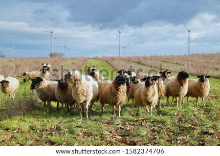 sheep weed control. Grazing Animals as Weed Control Agents. Grazing Sheep Herd in plantation of aronia shrubs and wind turbines background. Aronia chokeberries growing. Agricultural Marketing pictures
