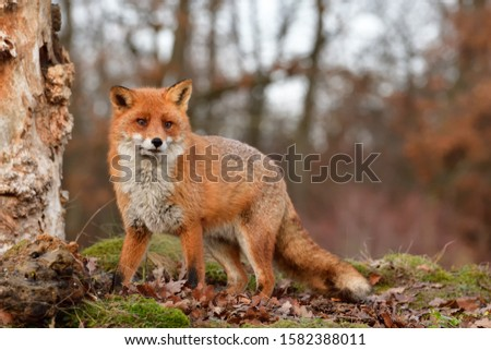 European red fox in autumn #1582388011