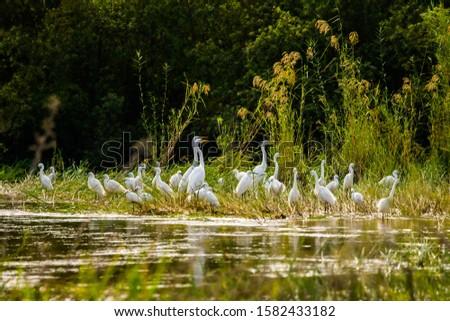 A flock of Yellow-billed Egret, Great Egret and Little Egret at Zambezi river bank #1582433182