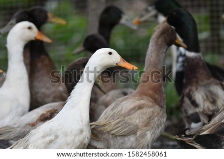 Group of ducks in a cage.Selective focus with blur background.  #1582458061