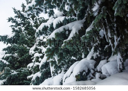 Green fluffy fir tree in the snow #1582685056