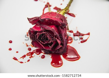 a Bloody rose on a white background. A Burgundy rose in the blood. A bleeding rose