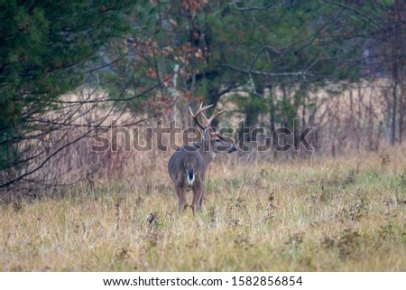 Large whitetailed deer buck moving through an open meadow during the rut in Great Smoky Mountains National Park #1582856854