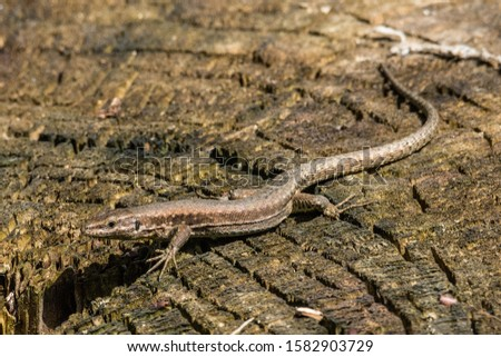 Lizard with long tail posing on a tree trunk, horizontal image #1582903729