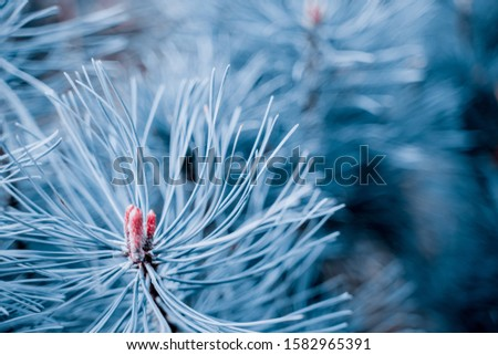 Fir tree branch close up. Shallow focus. Fluffy fir tree brunch close up in classic blue trendy color. background.  Aqua menthe Color of the year 2020.