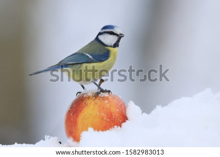 The Eurasian blue tit (Cyanistes caeruleus) is a small passerine bird in the tit family, Paridae. Blue tit sitting on the apple. Winter scene with a blue tit #1582983013