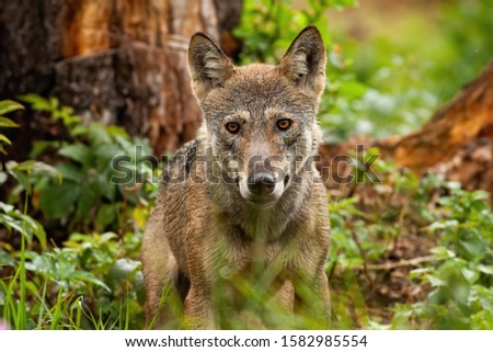 A front view of a lovely alpha gray wolf, canis lupus, taken in the fairy forest. Beautiful picture of the predator posing and looking kindly into the camera.