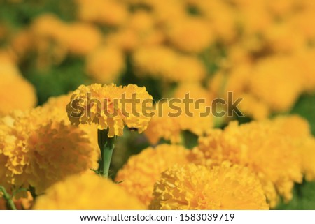 Beautiful yellow flowers. Tagetes erecta L. or Marigold in garden. #1583039719