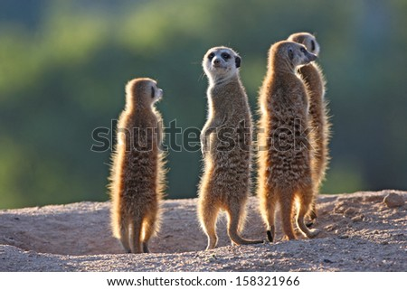 Surricate meerkats standing upright