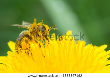 Honey bee on yellow flower in pollen, closeup. Honey bee covered with yellow pollen collecting nectar in flower.   Royalty-Free Stock Photo #1583347162