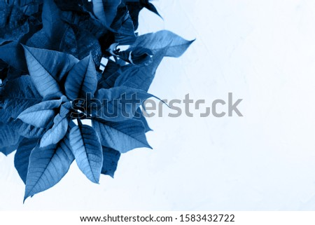 Blue toned poinsettia. Beautiful picture with copy space.