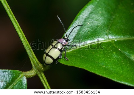 Flea Beetle photographed in Linhares, Espirito Santo. Southeast of Brazil. Atlantic Forest Biome. Picture made in 2014.