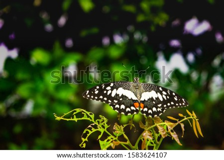 butterfly picture. common lembon butterfly perching and resting on the leaf