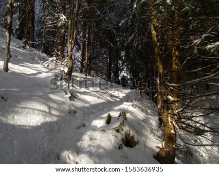 Beautiful Snow Covered Conifer Trees in sunny days, Poiana Brasov, Romania #1583636935