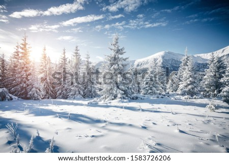 Attractive image of white spruces on a frosty day. Location place Carpathian ski resort, Ukraine, Europe. Exotic wintry scene. Christmas winter wallpaper. Happy New Year! Discover the beauty of earth.