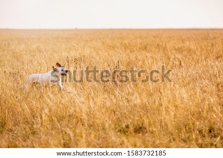 Pointer dog hunting. Dog run on field trial, outdoors, horizontal. #1583732185