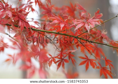 Maple leaves in East Lake, Wuhan, China #1583741053