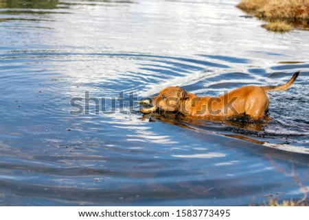 Active and happy Staffordshire bull terrier are running/fetching stick outdoors in nature. Pet photography, dogs, animal and activation concept. #1583773495