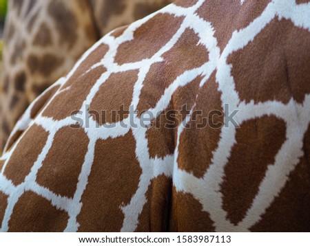 Giraffes and giraffes' skin Giraffes are eating food for tourists in safari. #1583987113