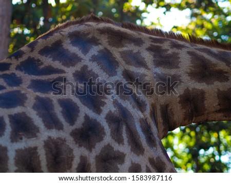 Giraffes and giraffes' skin Giraffes are eating food for tourists in safari. #1583987116