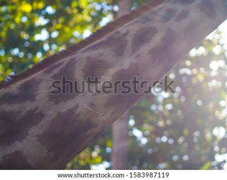Giraffes and giraffes' skin Giraffes are eating food for tourists in safari. #1583987119