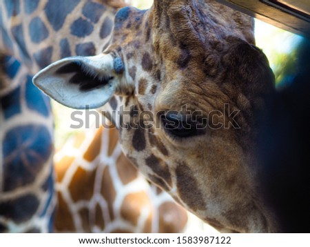 Giraffes and giraffes' skin Giraffes are eating food for tourists in safari. #1583987122