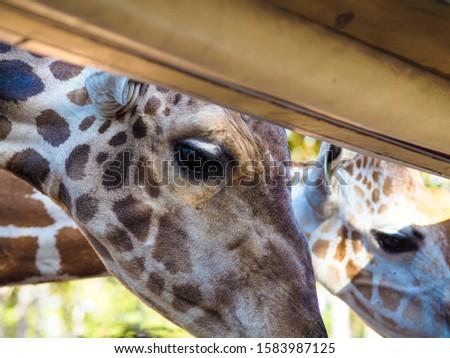 Giraffes and giraffes' skin Giraffes are eating food for tourists in safari. #1583987125