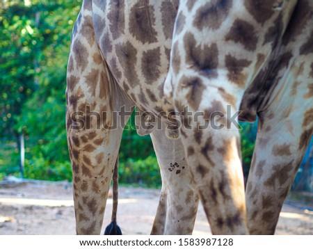 Giraffes and giraffes' skin Giraffes are eating food for tourists in safari. #1583987128