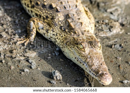 Caiman Crocodile resting at the riverbank of the Sierpe Mangrove national Park in Costa Rica wildlife #1584065668